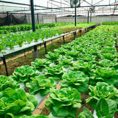 Green lettuce, cultivation hydroponics green vegetable in farm — Stock Photo