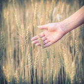 Hand woman touch barley field of agriculture rural scene — Stock Photo
