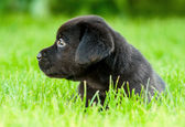 Labrador puppies — Stock Photo