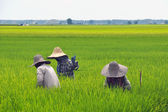 Sekinchan Paddy Farmers — Stock Photo