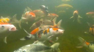 Koi pond underwater video — Vídeo Stock