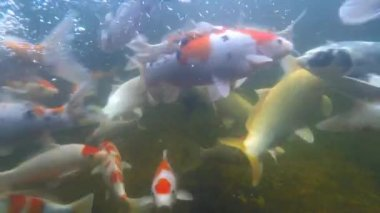 Koi pond underwater video — Stock Video