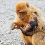 Gibraltar monkey feeding his baby — Stock Photo #49937145