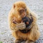 Gibraltar monkey feeding his baby — Stock Photo #49937289
