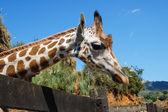 Girafa no zoológico — Foto Stock