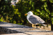 Yellow-legged gull — 图库照片