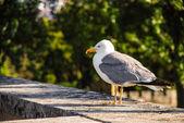 Yellow-legged gull — Stock Photo