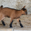 ������, ������: Miniature Goat