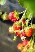 Strawberry in garden — Stock Photo