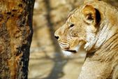 Beside face brown lion — Stock Photo