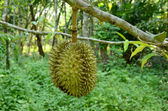 Durian on the tree — Stock Photo