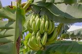 Kilka bananów na drzewie — Zdjęcie stockowe