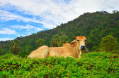 Cow relax on flower garden in day time with blue sky and mountain — Stock Photo