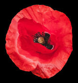 Vector poppy flower on black background. Photorealistic vector illustration. — Wektor stockowy