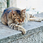 Angry old tired tabby cat — Stock Photo