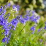 Light-blue wild flowers — Stock Photo #49440357