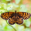 Постер, плакат: A Heath Fritillary butterfly