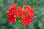 A scarlet flower — Stock Photo