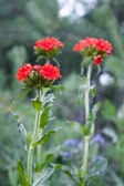 Three red flowers — Stock Photo