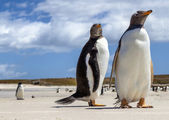 Two Gentoo Penguins at Falklands Islands — Stock Photo