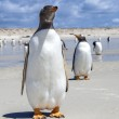 Two Gento Penguins one in front one in back in the Falkland Isla — Foto Stock