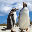 Two Gento Penguins at Falkland Islands. — Foto Stock