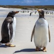 Two Gento Penguins close-up in the Falkland Islands-4 — Foto Stock