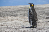 Emperor penguin in molting — Stock Photo