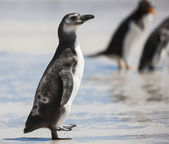 Magellanic Penguin in the Falkland Islands — Stock Photo