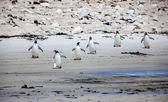 Six Gento Penguin on the  beach — Stock Photo