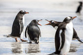 Penguins under Discussion at Falkland Islands-2 — Stock Photo