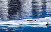 Seals resting on floating ice — Foto Stock