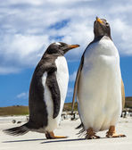 Two Gento Penguins at Falkland Islands. — Stock Photo