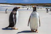 Two Gento Penguins close-up in the Falkland Islands-4 — Stock Photo