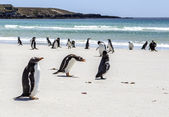 Penguins under Discussion at Falkland Islands — Stock Photo