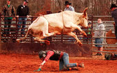 Cowboy in Danger Under Bull — Stock Photo