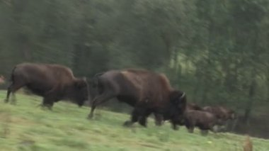 Running Bisons — Stock Video