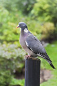 Columba Livia (Pigeon) on a bough — Stock Photo
