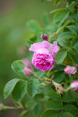 The famous bulgarian rose from Rose Valley, Bulgaria — Stock Photo