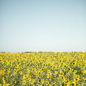 Feld von sonnenblumen — Stockfoto