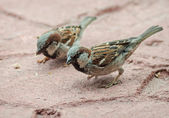 Sparrows searching bread crumbs — ストック写真