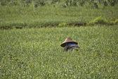 A girl in a rice field in Myanmar — Stock Photo