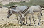 Somali wild ass — Stock Photo