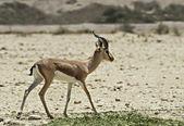 Dorcas gazelle in Israeli nature reserve near Eilat — Stock Photo