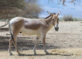 The onager (Equus hemionus) is a brown Asian wild ass — Stock Photo