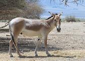 The onager (Equus hemionus) is a brown Asian wild ass — Stock Photo