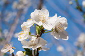 Beautiful almond tree flowers in the spring — Stock Photo