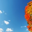 Bright colorful maple tree on blue autumn sky — Stock Photo #49883637