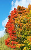 Bright colorful maple tree in autumn — Zdjęcie stockowe