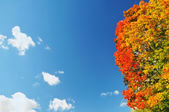 Bright colorful maple tree on blue autumn sky — Zdjęcie stockowe